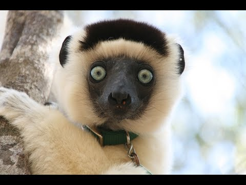 Friendship and Female Power in Lemurs of Madagascar (HSCT 108)