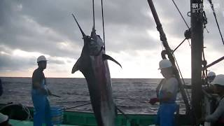 カツオ豊漁、カジキと格闘 高知県室戸市 カツオクジラ 検索動画 26