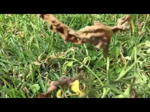 Fusarium wilt killed my tomato plant