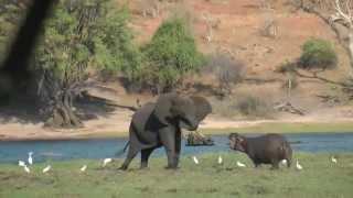 Safari 2014 Chobe NP Olifant versus nijlpaard 1-1