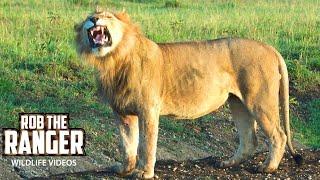 Two Bila-Shaka Male Lions With The Topi Lion Pride | Maasai Mara | Zebra Plains