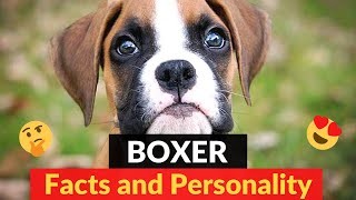 Boxer: What are the Personality Traits of this breed? | Should you get a Boxer?