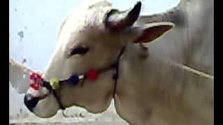 Beautiful Bull