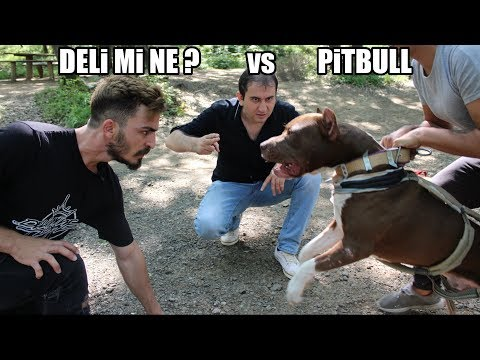 Pitbul Vs Rock Wailer