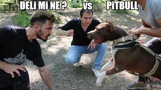 Deli Mi Ne ? Pitbul'a Karşı !! ( PİTBULL ARABA ÇEKTİĞİ ZİNCİRİ KOPARDI ) Deli mi ne ? power pitbull