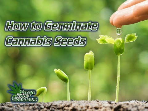 How To Germinate Cannabis Seeds: A Step-By-Step Guide For Cannabis Growers