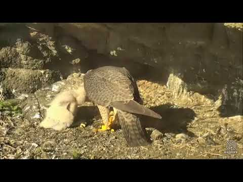 Anacapa Peregrine Falcon Cam - Hungry Chicks Get Fed Big Mouthfuls ! :) - 5/15/18