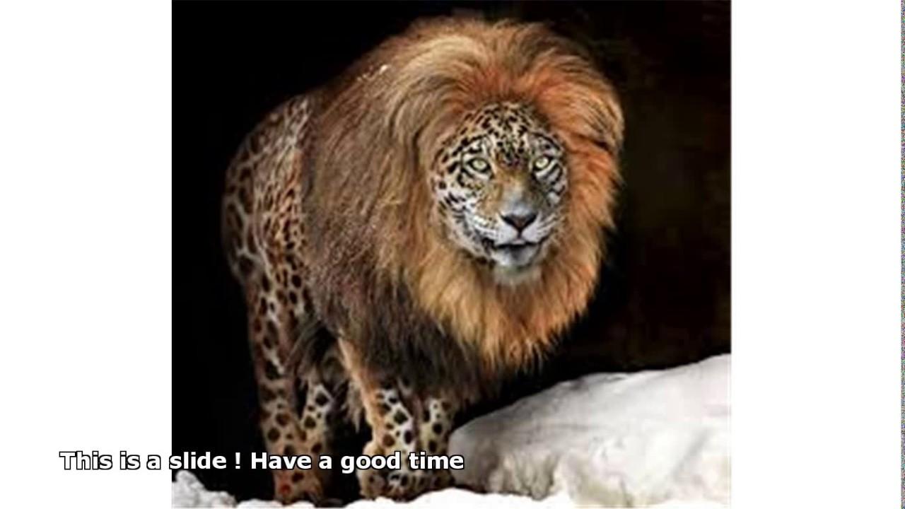 Jaguar hybrid cat