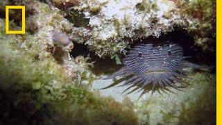 Grumpy Toadfish Sing Strange Love Songs   National Geographic