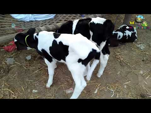 Australian nasal k bachry australian cow Urdu hindi punjabi video 2018 thumbnail