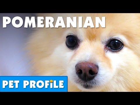 Pomeranian Pet Profile  Bondi Vet