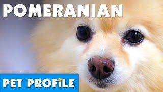Pomeranian Pet Profile | Bondi Vet