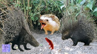 Nghe Tiếng Khóc Trong Bụi Cỏ Lại Gần Thì Phát Hiện Hang Quái Vật Nhím Không Lồ.Bắn Chim.Hedgehog