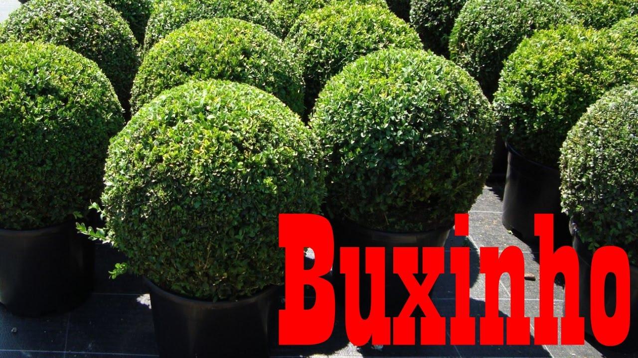 Mondini plantas como cultivar buxinho youtube for Como cultivar plantas ornamentales