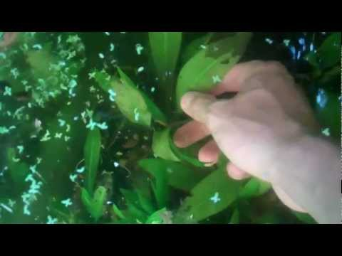 HOW TO Remove Aquarium Plants From A Dirted Tank. Aquarium Plants In Dirt Substrate