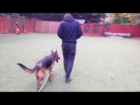 Skye the German Shepherd - Royvon
