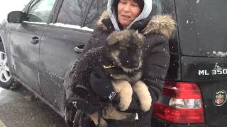 Danny Boy German Shepherd Puppy