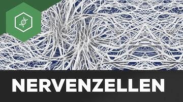 Nervenzelle einfach erklärt: Aufbau & Funktion