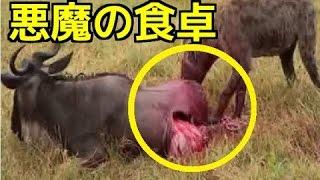 【閲覧注意】①ハイエナの狩り グロ過ぎる捕食シーン②ライオン&ヒョウ ...