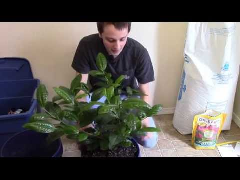 How to Grow Camellia covering the basics
