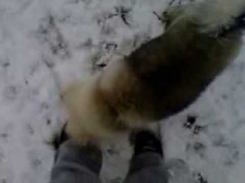 Keeshond puppy plays in snow