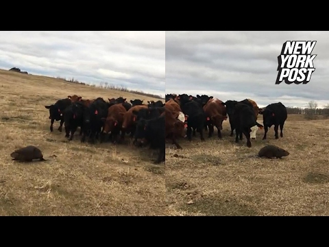 This herd of cows was caught following a beaver around