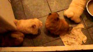 1 month old Chow puppies