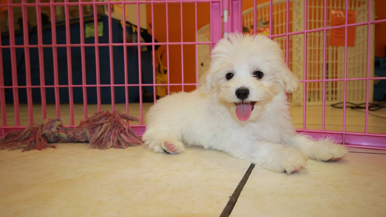Malti Poo, Puppies For Sale, In Nashville, Tennessee, TN ...