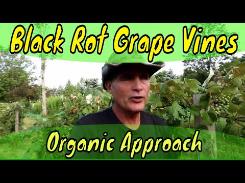 Black Rot And Grape Vines Organic Approach