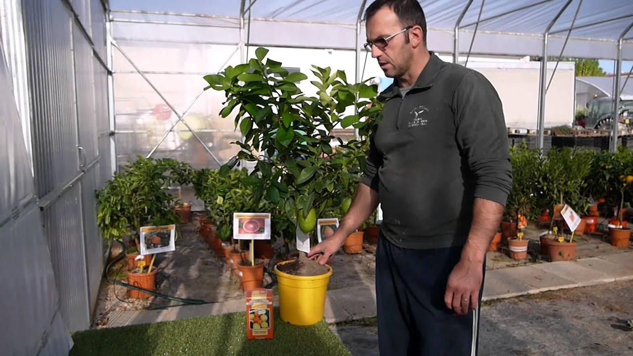 Video pianta di limone 4 stagioni savinivivai youtube for Pianta limone 4 stagioni