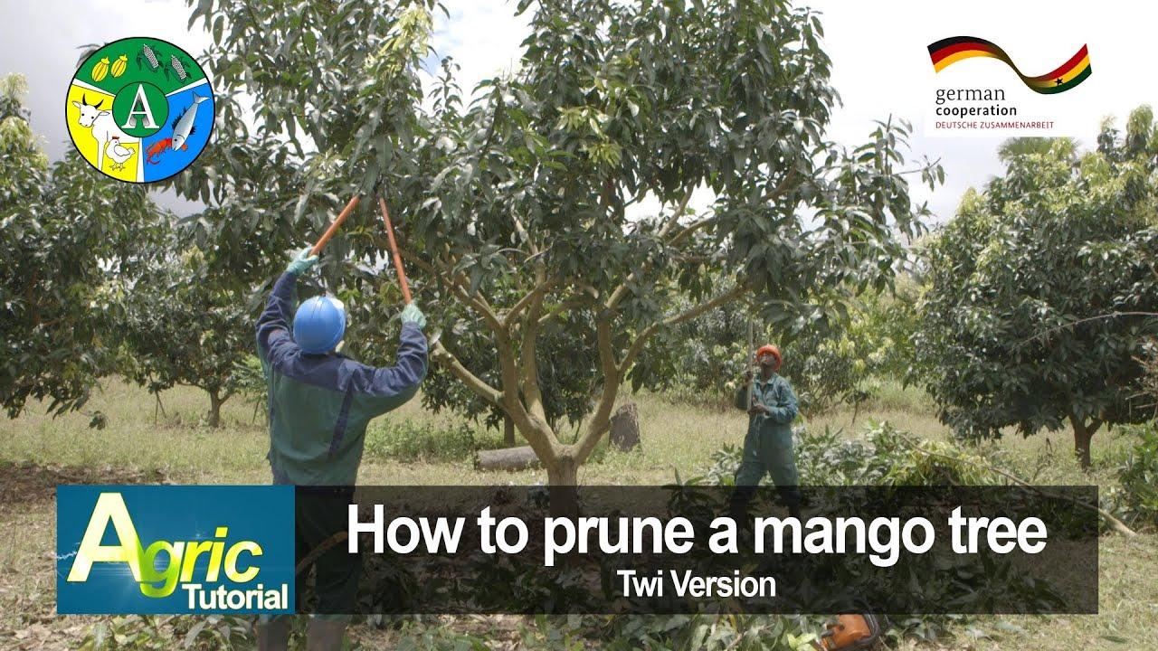 How To Prune A Mango Tree (twi) Youtube