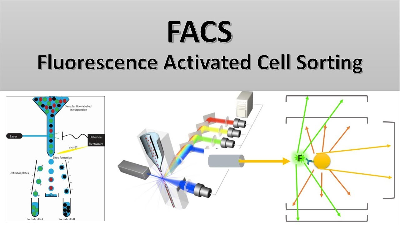 the principle of flow cytometry and facs (2- facs: fluorescence activated cell  sorting) - youtube  youtube