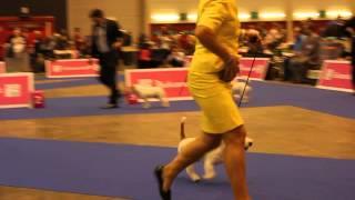 European Dog Show 2013, Jack Russell Terrier, Judge: Mrs. Elisabeth Feuz (ch) - Bm