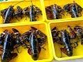 Jangan Sampai Gagal Budidaya Lobster, Ini sifat Lobster yang harus diperhatikan