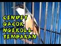 Cendet Gacor Tembakan Cililin Gereja Tengkek Cocok Buat Pancingan Cendet Trotol Dan Masteran  Mp3 - Mp4 Download