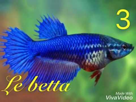 Les principaux poisson d 39 aquarium d 39 eau douce youtube for Poisson eau douce