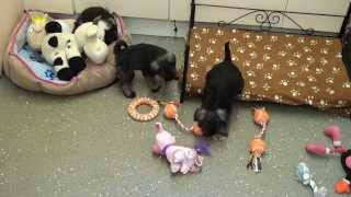Little Rascals Uk Breeders New Litter Of Miniature Schnauzer Boys And Girls - Puppies For Sale 2015