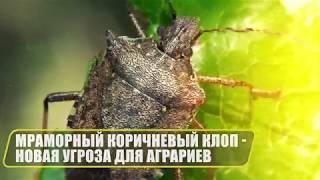 Внимание! Особо опасный вредитель! Угроза от коричневого мраморного клопа!