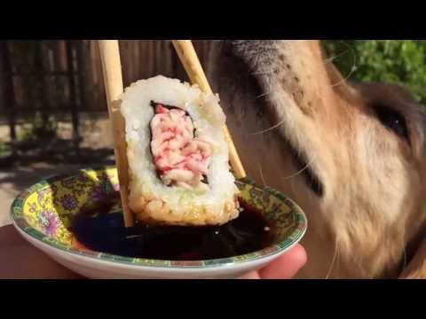 fritz-tries-to-catch-sushi