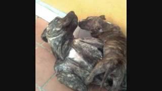 Staffordshire Terrier & Staffordshire Bull Terrier