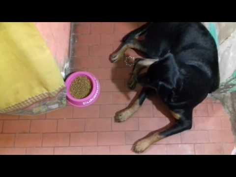 Gato le roba la comida a un rottweiler