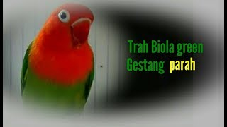 lovebird trah biola gestang | ciri lovebird gesatang