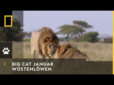 Wüstenlöwen | BIG CAT JANUAR | NAT GEO WILD
