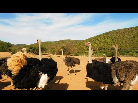 Funny Holidays on the Ostrich Farm -Oudtshoorn, Southafrica