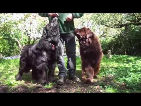 Newfoundland dog exercises