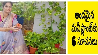 6 Tips for healthy and beautiful money plant (pothos)మనీ ప్లాంట్ బాగా పెరగాలంటే. #moneyplant #pothos