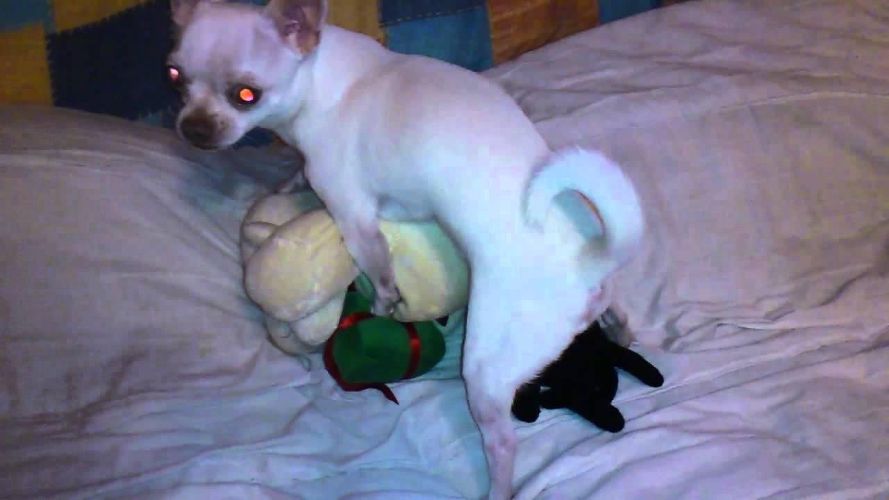 Chihuahua humping toy dog