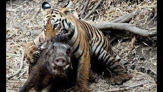 Animals real fight Lions - Tiger attacks warthog - Animal attacks