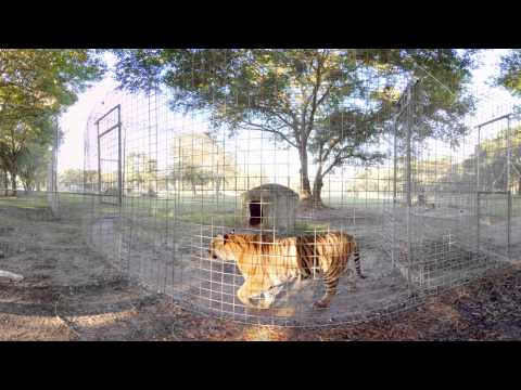 Having Breakfast With Tigers in 360!!