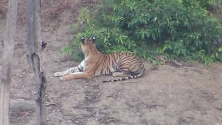 Live Tiger hunting a deer in Pench Wildlife Sanctuary Madhya Pradesh, India